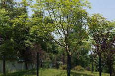 樱花风铃木
